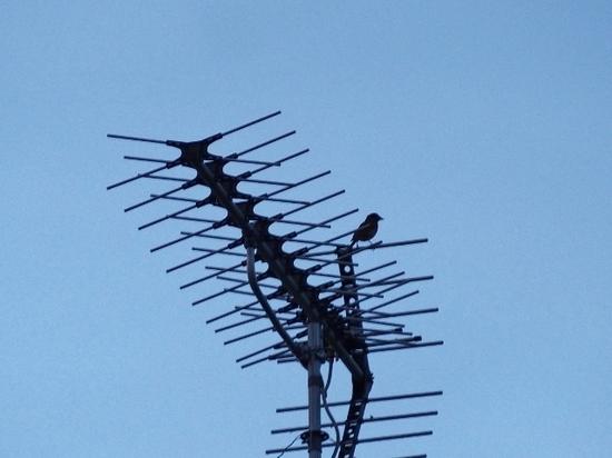 アンテナに鳥.jpg