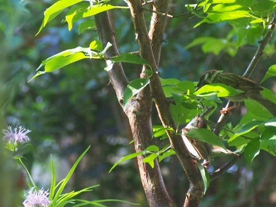スズメの幼鳥 (11).jpg