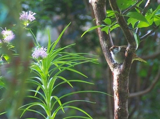 スズメの幼鳥 (8).jpg