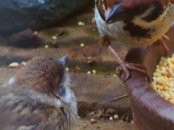 スズメの雛と給餌.jpg