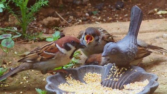 スズメの雛と給餌 (2).jpg