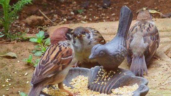 スズメの雛と給餌 (4).jpg