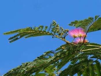 ネムノキの花 (1).jpg