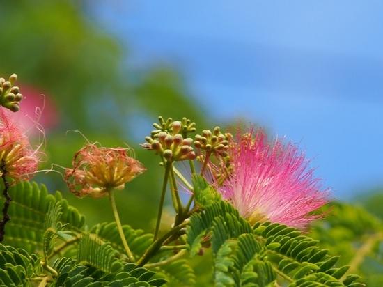 ネムノキの花 (3).jpg