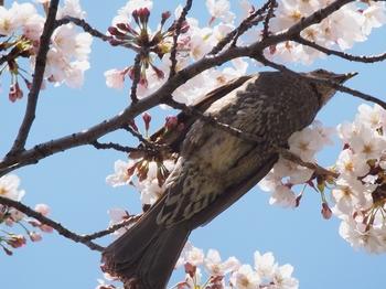 ヒヨドリと桜.jpg