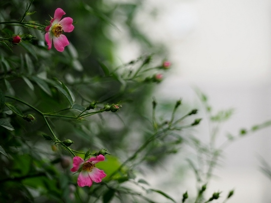 ピンクの野バラ.jpg