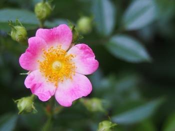 ピンクの野バラ (1).jpg
