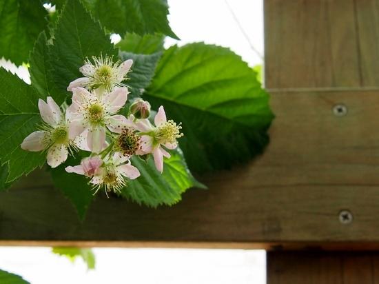 ブラックベリーの花.jpg