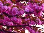 八重桜 (1).jpg