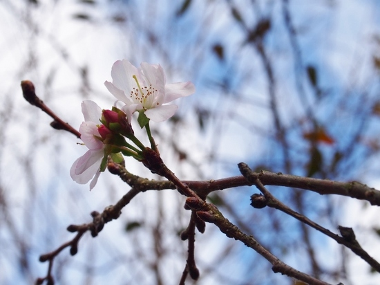 冬桜 (3).jpg
