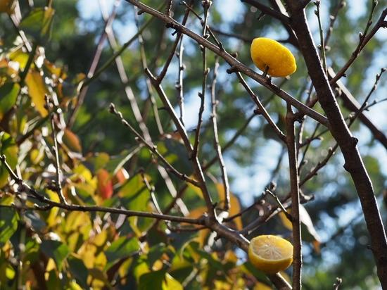 小枝に柚子 (1).jpg
