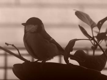 小鳥 シジュウカラ・セピア.jpg