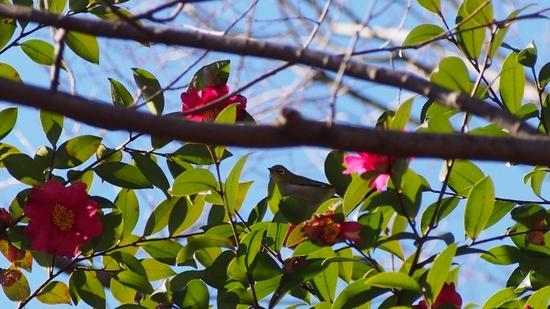 山茶花とメジロ (1).jpg