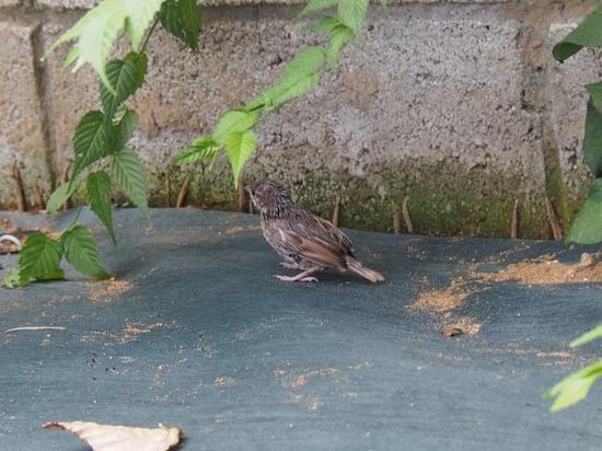 巣から落ちたヒナ (10).jpg