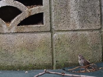 巣から落ちたヒナ (13).jpg