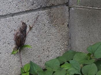巣から落ちたヒナ (3).jpg