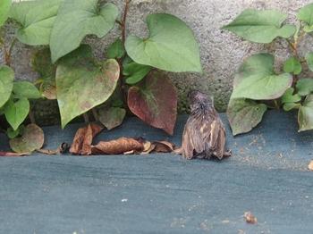 巣から落ちたヒナ (8).jpg