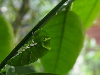 幼虫からサナギへ.jpg