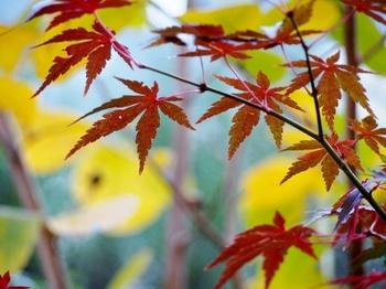 庭の紅葉.jpg