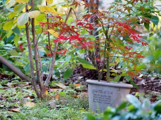 庭の紅葉 (1).jpg