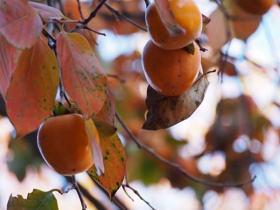柿 (1).jpg