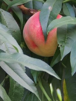 桃の木.jpg