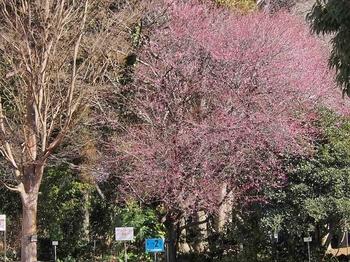 植物園の梅.jpg