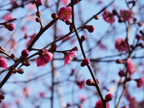 植物園の梅 (1).jpg