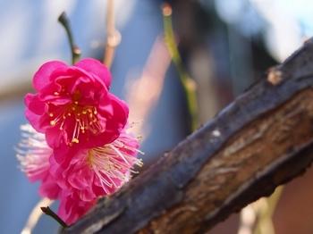 母の庭 寒紅梅.jpg