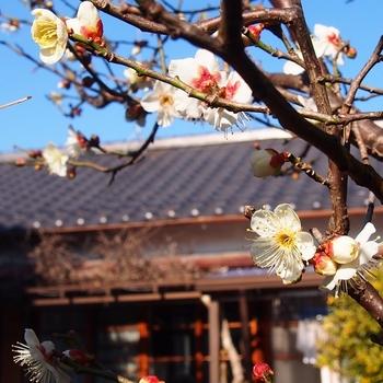 母の庭 豊後梅.jpg