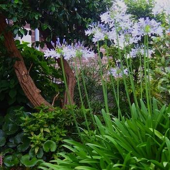 母の庭のアガパンサス (4).jpg