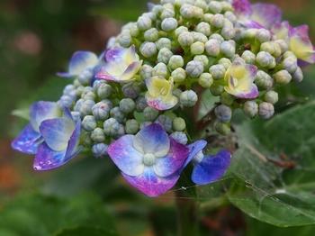 水元の紫陽花 (3).jpg