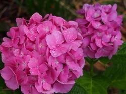 水元の紫陽花 (4).jpg