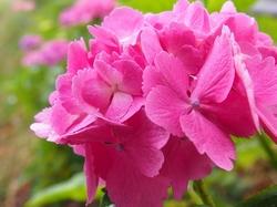 水元の紫陽花 (5).jpg