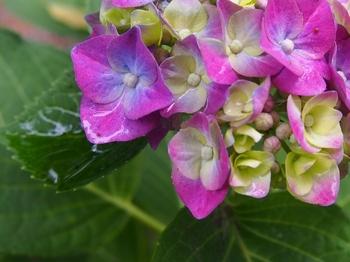 水元の紫陽花 (6).jpg