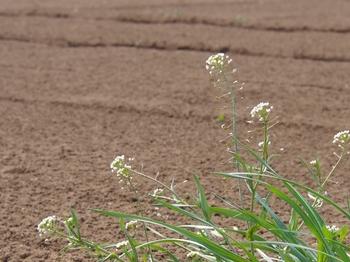 畑のナズナ (1).jpg