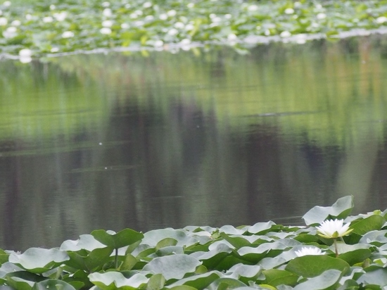 白い睡蓮 (1).jpg