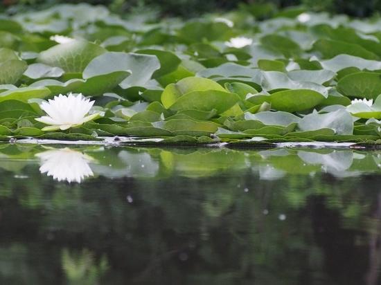 白い睡蓮 (4).jpg