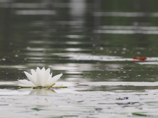 白い睡蓮 (9).jpg