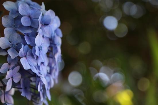 紫陽花 (1).jpg