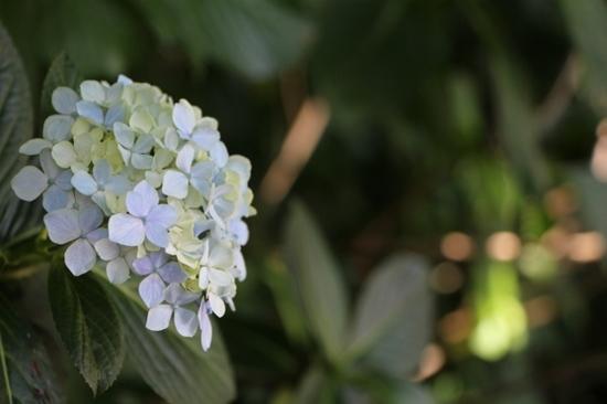 紫陽花 (2).jpg