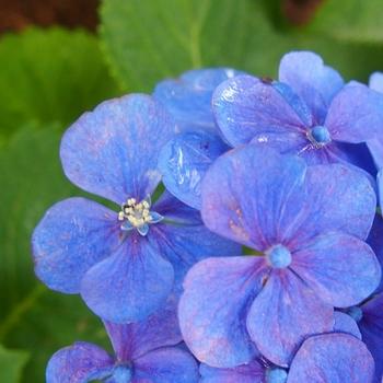 紫陽花の花 (1).jpg