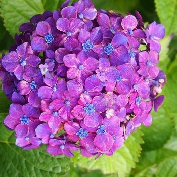 紫陽花の花 (3).jpg