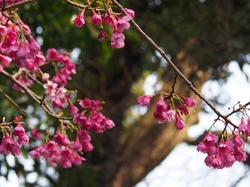 緋寒桜.jpg
