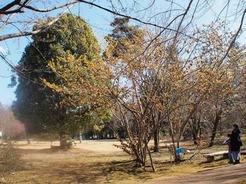 自然植物園のマンサク (3).jpg