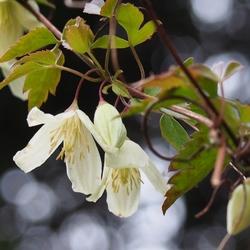 花 冬のクレマチス.jpg