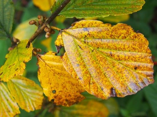 葉 マンサクの黄葉.jpg