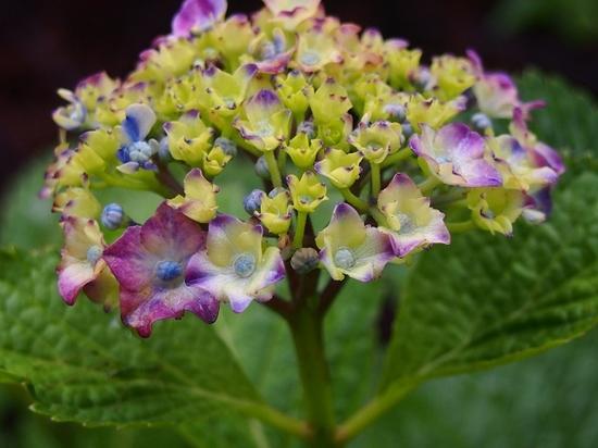 西洋紫陽花.jpg