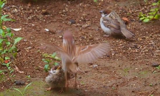 親鳥の羽ばたき.jpg