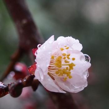 豊後梅開花.jpg